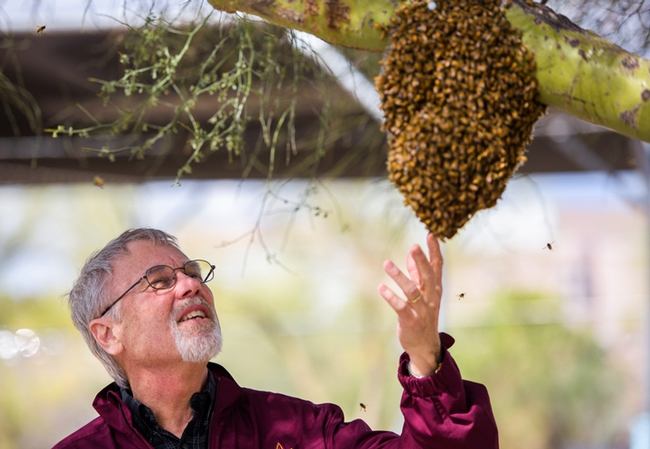 Honey bee geneticist Robert E. Page examines a swarm at Arizona State University, where he served as provost.