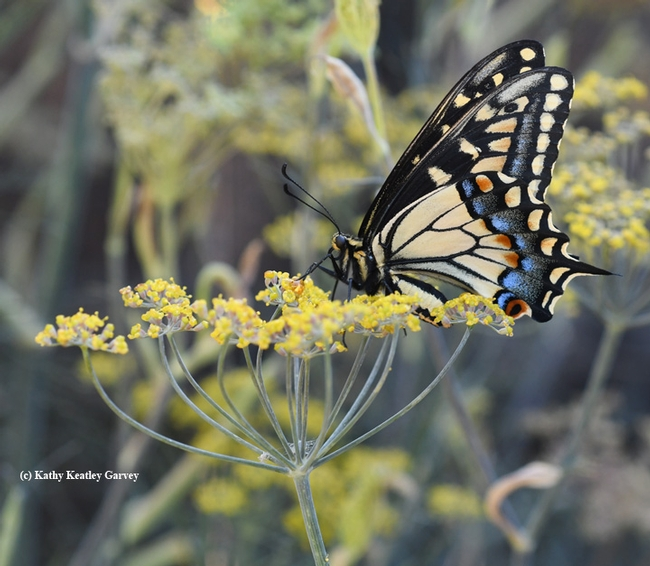 An anise swallowtail,Papilio zelicaon. UC Davis distinguished professor Bruce Hammock's research on metamorphosis has led to human-focused research. (Photo by Kathy Keatley Garvey)