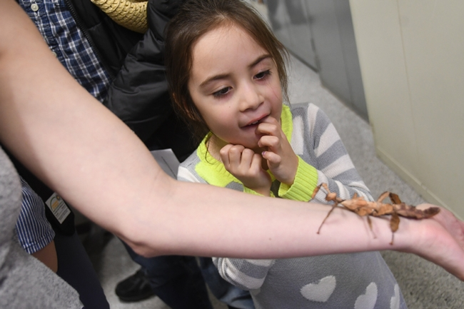 Kira Olmos leans forward for a closer look at the Australian stick insect. (Photo by Kathy Keatley Garvey)