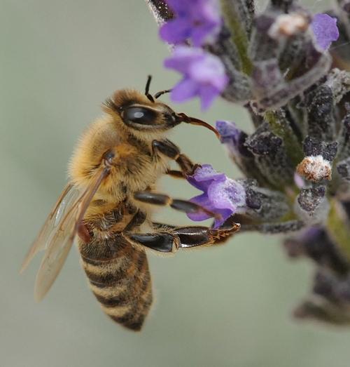 VARROA MITE (see crablike reddish-brown parasite below wings) sucking blood from a worker bee as she nectars lavender. (Photo by Kathy Keatley Garvey)