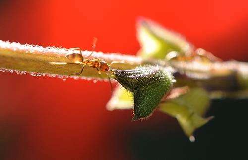ARGENTINE ANT foraging on pineapple sage (Salvia elegans). (Photo by Kathy Keatley Garvey)