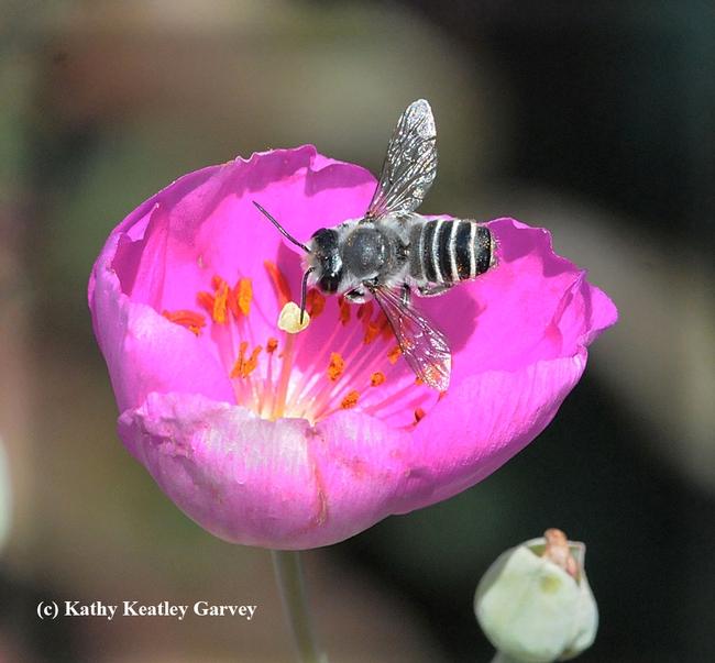 A leafcutter bee, Megachile, forages on a rock purslane, Calandrinia grandiflora. (Photo by Kathy Keatley Garvey)
