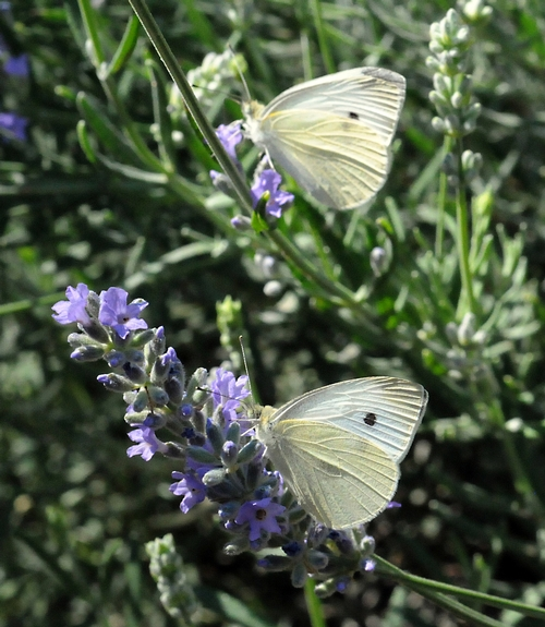 Two Cabbage Whites