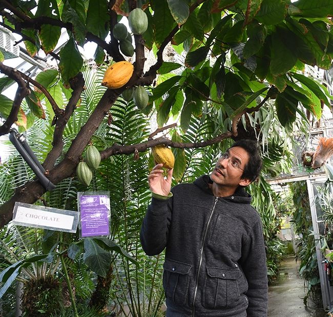 Ernesto Sandoval, collections manager for the UC Davis Botanical Conservatory, checks out the cacao tree, aka