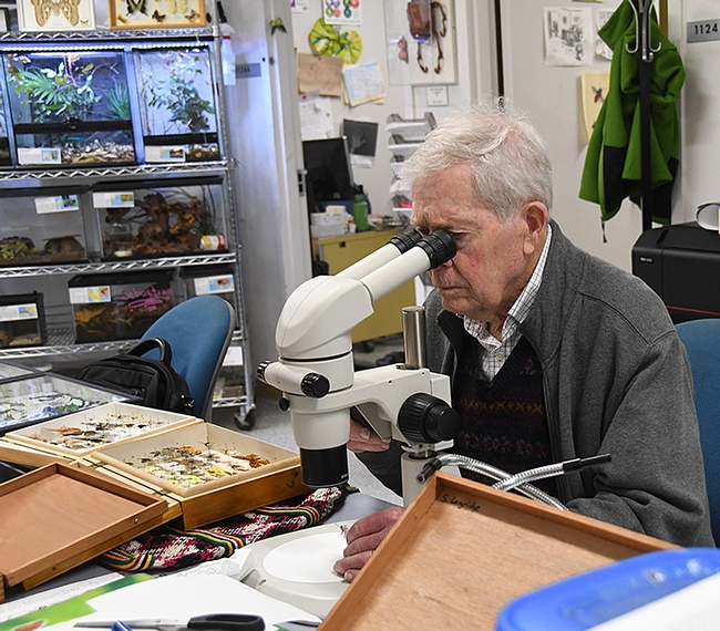 Jerry Powell, emeritus director of the Essig Museum of Entomology, examines a specimen under the microscope. (Photo by Kathy Keatley Garvey)