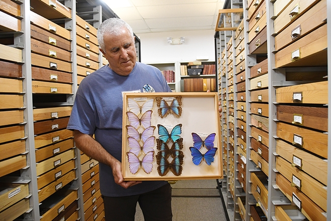 Entomologist Jeff Smith, who curates the Bohart Museum's collection of butterflies and moths, shows morpho butterflies. (Photo by Kathy Keatley Garvey)