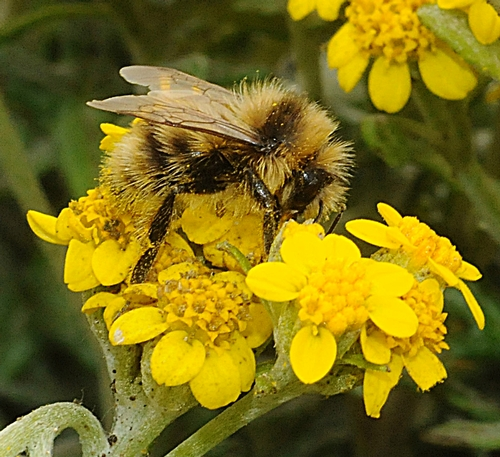 """BOMBUS BIFARIUS, shown here at Bodega Bay, was one of three western species of bumble bees looked at in the Cameron study. Of the three, only B. occidentalis is in decline """"and that one only in the western part of its range,"""" Robbin Thorp said. (Photo by Kathy Keatley Garvey)"""