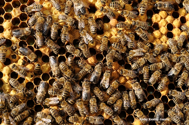 Honey bees at work. (Photo by Kathy Keatley Garvey)