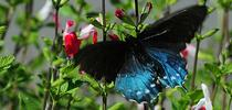 A pipevine swallowtail, Battus philenor, is like a bolt of blue. Here it heads for salvia. (Photo by Kathy Keatley Garvey) for Bug Squad Blog