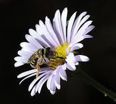 Pollinator