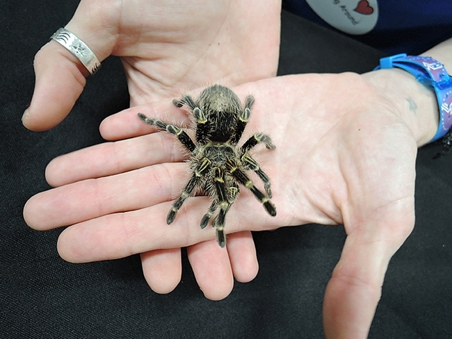 It's finals week! Coco McFluffin, a Chaco golden knee tarantula, will be one of the de-stressors at the Meet-n-Greet Bug Show  from noon to 1 p.m., Tuesday, March 19 in the UC Davis LGBTQUIA Resource Center. (Photo by Kathy Keatley Garvey)