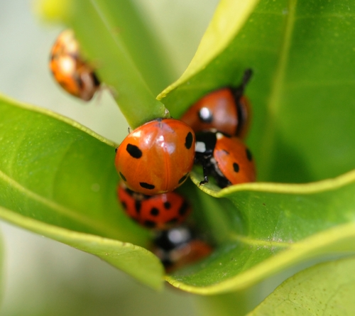 Cluster of Ladybugs