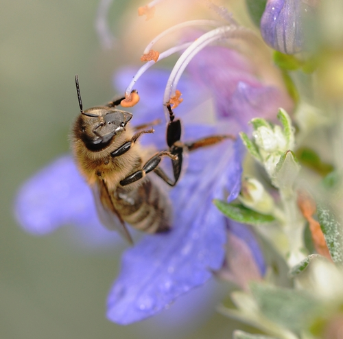 IN THE DEAD OF WINTER, a honey bee visits a bush germander (Teucrium fruticans azurelum) at the Haagen-Dazs Honey Bee Haven Garden at the Harry H. Laidlaw Jr. Honey Bee Research Facility, UC Davis. One of the questions asked at the Linnaean Games was