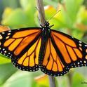 A male monarch seeking nectar in Vacaville, Calif. (Photo by Kathy Keatley Garvey)