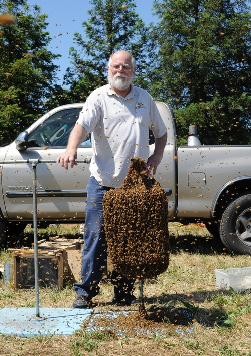 EDITOR Kim Flottum of Bee Culture with a cluster of bees used by Norm Gary, emeritus professor of entomology at UC Davis, in a bee wrangling stunt.  (Photo by Kathy Keatley Garvey)