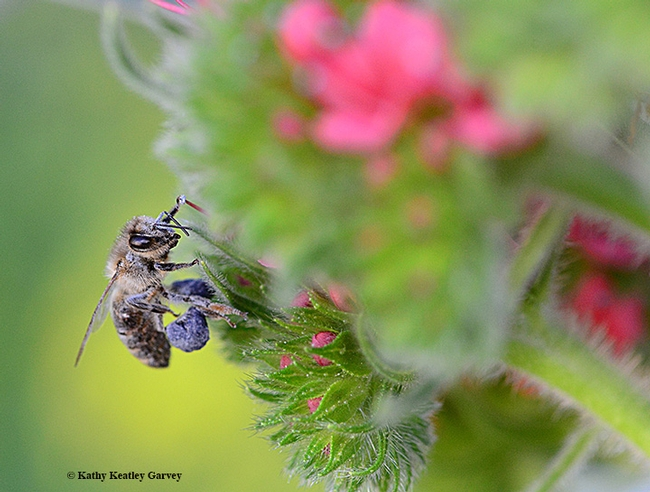 A honey bee packing blue pollen from the tower of jewels, Echium wildpretii. (Photo by Kathy Keatley Garvey)