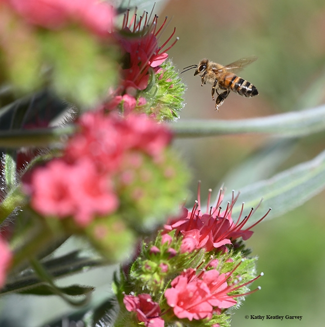 A honey bee in flight as it heads toward the tower of jewels, Echium wildpretii. (Photo by Kathy Keatley Garvey)