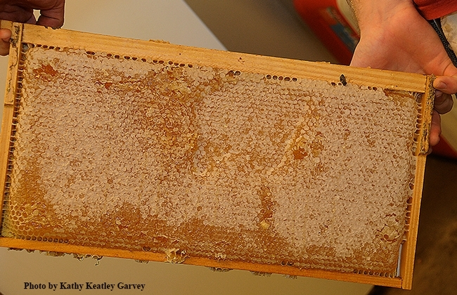 A frame of honey from the Harry H. Laidlaw Jr. Honey Bee Research Facility. (Photo by Kathy Keatley Garvey)