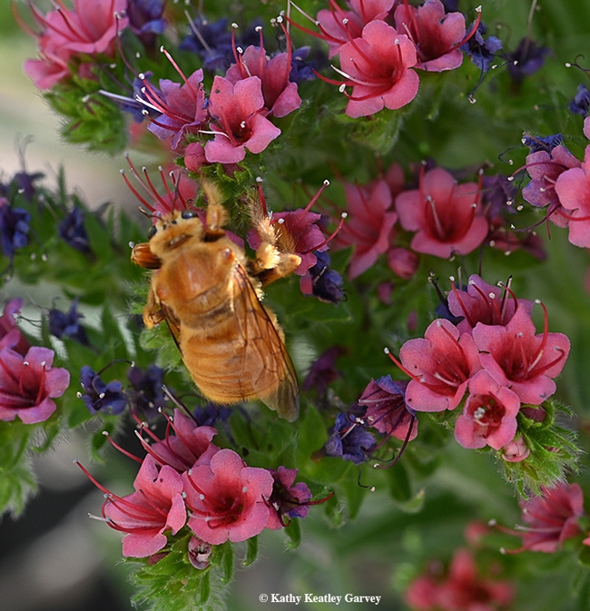 The male Valley carpenter bee is often mistaken for a bumble bee, or what some have called a