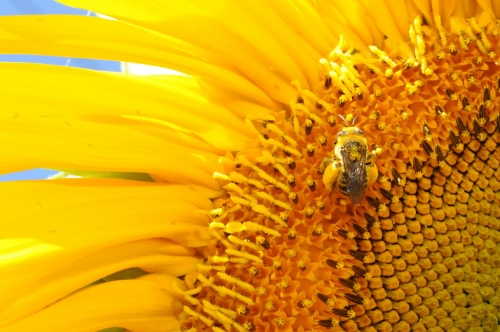 Pollen-packed sunflower bee