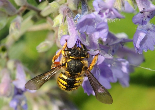WOOL CARDER BEE sips nectar from catmint. (Photo by Kathy Keatley Garvey)