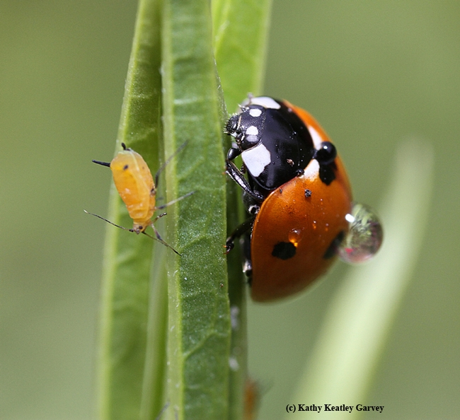 A well-fed adult lady beetle (aka ladybug) ignores a fat Oleander aphid. (Photo by Kathy Keatley Garvey)