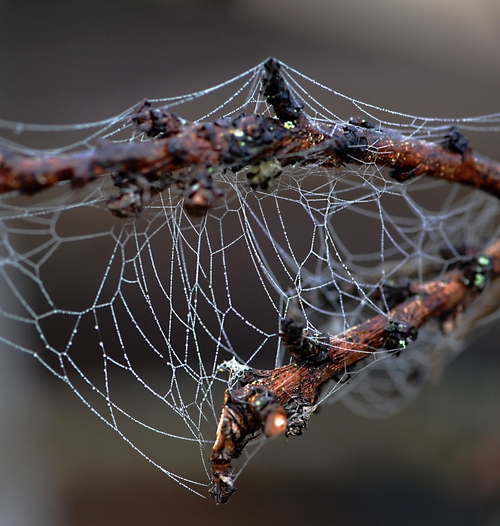 INTRICATE PATTERN of a spider web on nectarine branches. (Photo by Kathy Keatley Garvey)