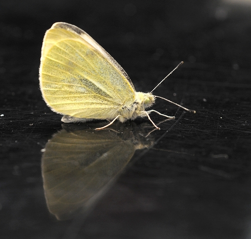 CABBAGE WHITE BUTTERFLY--the first of 2011 in the three-county area of Yolo, Solano and Sacramento. Art Shapiro found this one today (Jan. 31) in Suisun City, Solano County. (Photo by Kathy Keatley Garvey)