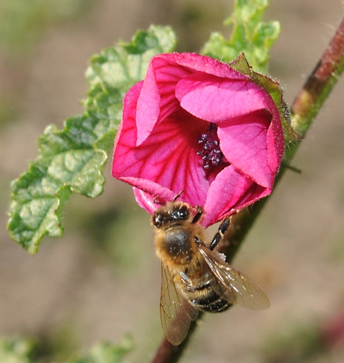 Honey Bee on Cape Mallow