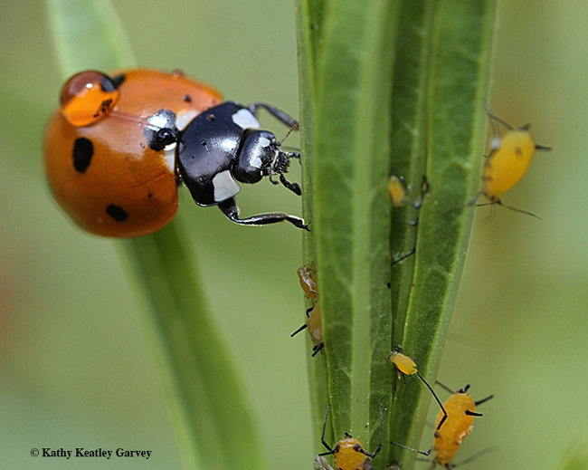 A lady beetle, aka ladybug, ready to devour aphids, its primary food source. Image taken in Vacaville, Calif. (Photo by Kathy Keatley Garvey)