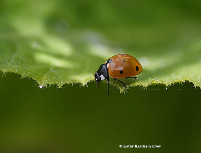 A lady beetle on the prowl in Vacaville, Calif. (Photo by Kathy Keatley Garvey)