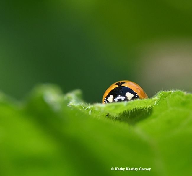 Peek-a-boo! A lady beetle peers over a leaf in Vacaville, Calif. (Photo by Kathy Keatley Garvey)