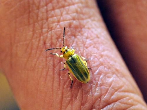 Adult saltcedar beetle