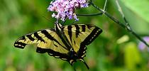 Western tiger swallowtail, Papilio rutulus, nectaring on verbena in the Kate Frey Pollinator Garden, Sonoma Cornerstone. (Photo by Kathy Keatley Garvey) for Bug Squad Blog