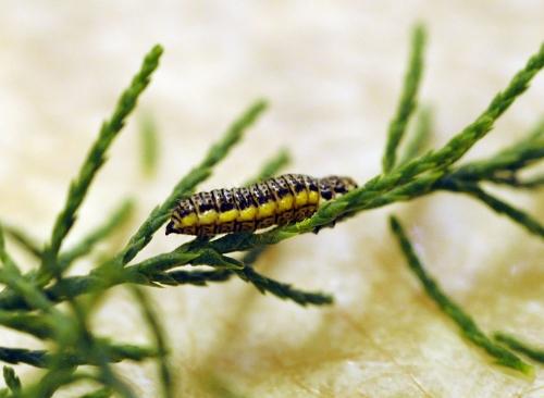 Larva of saltcedar beetle