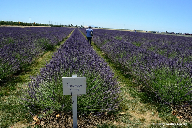 The six-acre lavender fields on the Araceli Farms, on the outskirts of Dixon, glow during the Lavender Festival. (Photo by Kathy Keatley Garvey)