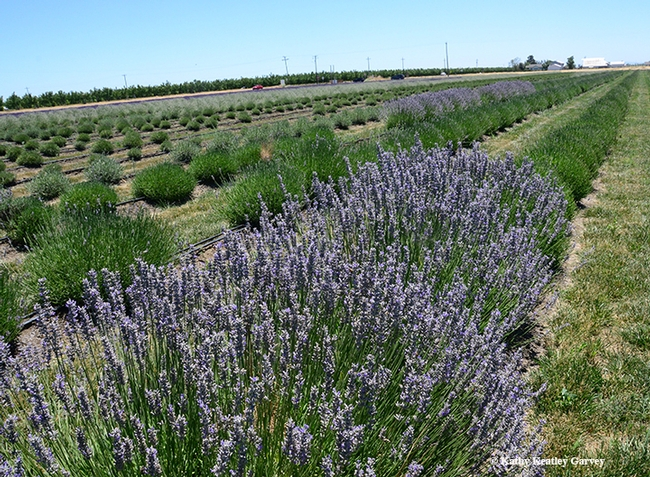 The Araceli Farms are planted with seven varieties of lavender: seven varieties of lavender: Grosso, Provence, White Spike, Royal Velvet, Violet Intrigue, Folgate, and Melissa. (Photo by Kathy Keatley Garvey)