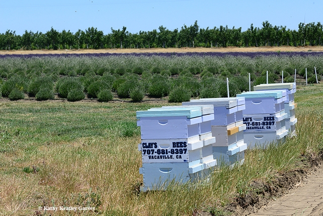 Clay's Bees--Clay Ford, owner of the Pleasants Valley Honey Company, Vacaville--pollinate the lavender fields. (Photo by Kathy Keatley Garvey)