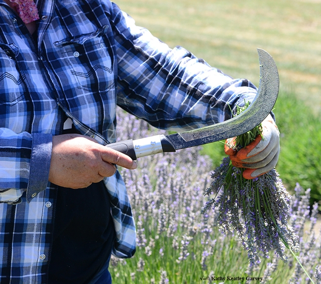 Close-up of the curved knife, perfect for lavender harvesting. (Photo by Kathy Keatley Garvey)