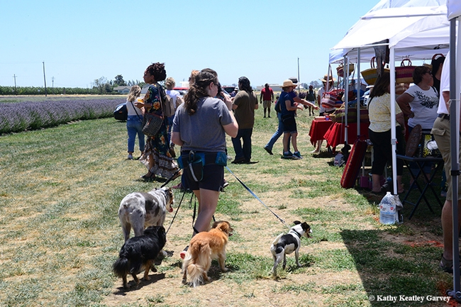 Visitors at the Lavender Festival at Araceli Farms stroll through the vendor area. (Photo by Kathy Keatley Garvey)