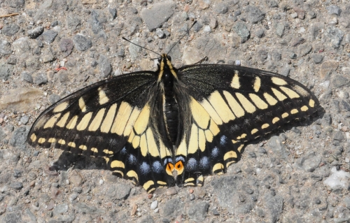 We found this dazzling butterfly last weekend in the Berkeley marina parking lot. (Photo by Kathy Keatley Garvey)