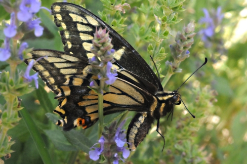 A side view of the Anise Swallowtail butterfly. (Photo by Kathy Keatley Garvey)