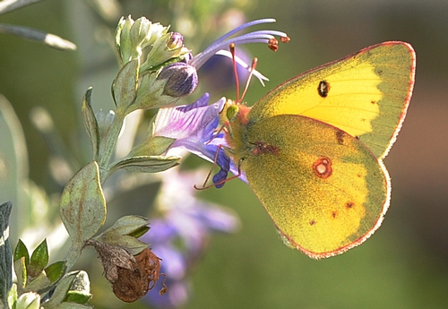 A MALE orange sulphur butterfly (Colias eurythme) nectars a bush germander on Feb. 7 at the Haagen-Dazs Honey Bee Haven, Harry H. Laidlaw Jr. Honey Bee Research Facility, UC Davis. (Photo by Kathy Keatley Garvey)