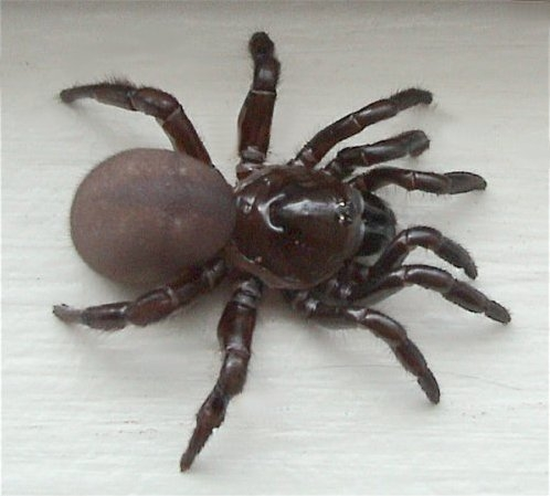 A trapdoor spider, Ummidia sp. (Courtesy of Wikipedia)