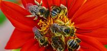 Male longhorned bees, Melissodes, spending the night on a Mexican sunflower (Tithonia)in Vacaville, Calif. (Photo by Kathy Keatley Garvey) for Bug Squad Blog
