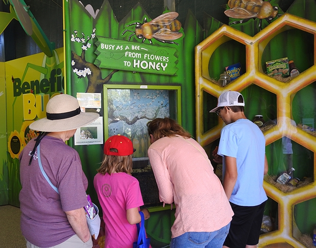 The bee observation hive is a popular attraction in the California State Fair's Insect Pavilion. (Photo by Kathy Keatley Garvey)
