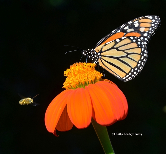 A monarch butterfly is interrupted by a male longhorned bee engaging in territorial behavior. (Photo by Kathy Keatley Garvey)
