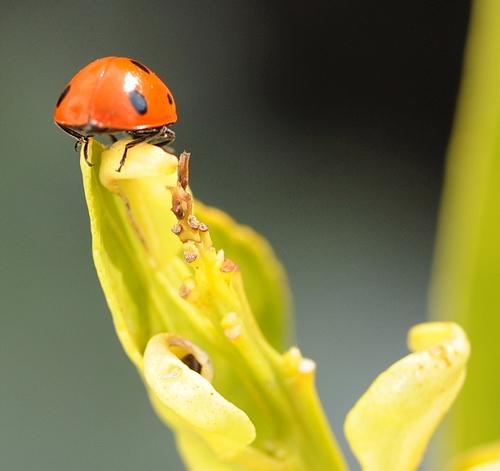 Ladybug in February