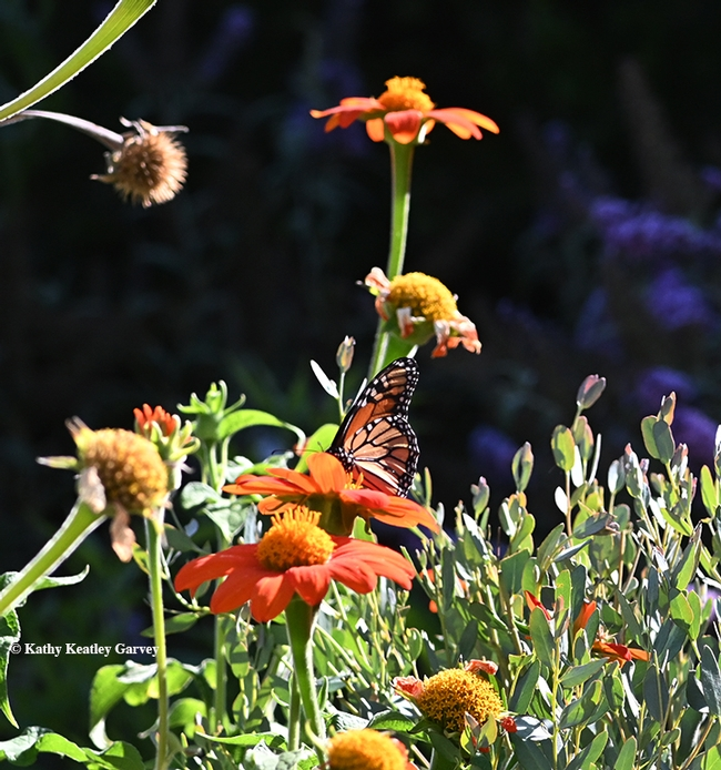 Yes, that's a monarch! A monarch touched down in a Vacaville, Calif. pollinator garden at 5 p.m. Aug 9. It's nectaring on Mexican sunflower (Tithonia). (Photo by Kathy Keatley Garvey)