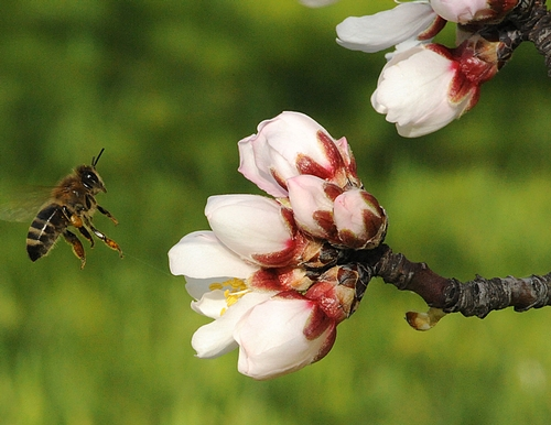 HONEY BEE heads for almond blossoms at the Harry H. Laidlaw Jr. Honey Bee Research Facility at the University of California, Davis. (Photo by Kathy Keatley Garvey)